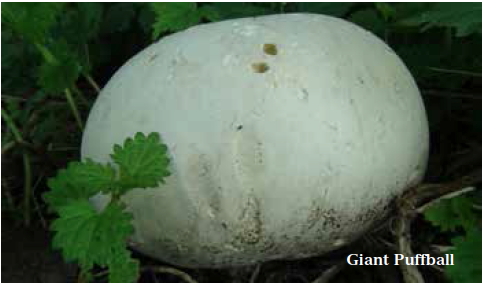 Foraging experiences wild food uk Giant puffball