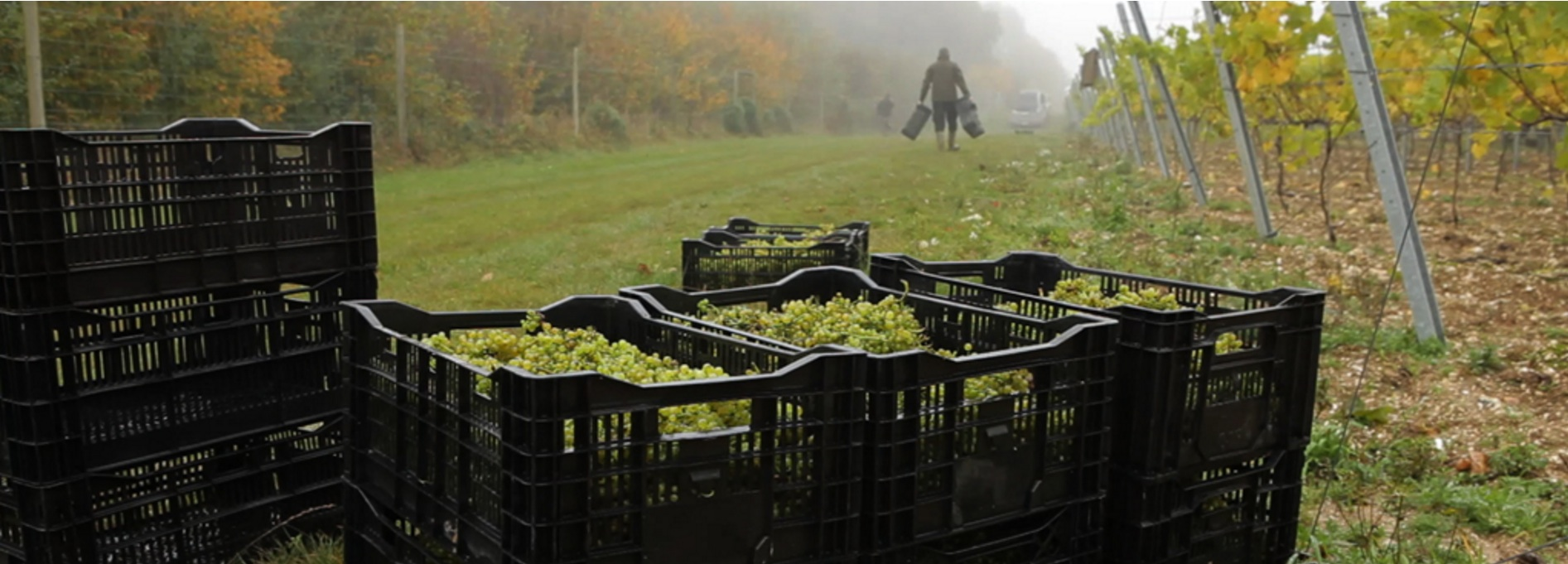 Hattingley Valley Grape Harvest